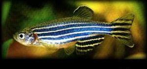 斑马鱼:喜爱群游的顶层小型热带鱼 (热带鱼种类介绍)鱼缸里的永动机