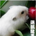 仓鼠:小仓鼠学问大-饲养仓鼠必看,仓鼠介绍饲养仓鼠知识整理 全部用品大全