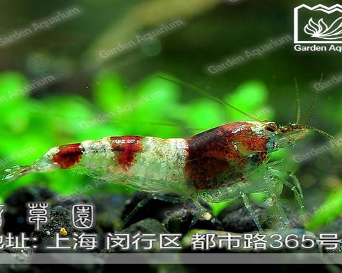 五皇冠 百草园水族馆 蜜蜂虾 10只/组 原生水晶虾元祖观赏虾