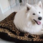 萨摩耶犬:了解狗狗习性,做个合格的萨摩耶家长养好萨摩耶的方方面面