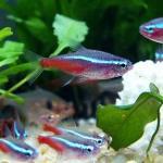 红绿灯鱼的介绍 以及如何养好红绿灯红绿灯吃什么饲料好