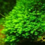 莫丝水草之种类鉴别(MOSS) 莫丝生长习性探秘(莫斯) 莫丝(moss)图鉴