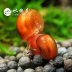 观赏螺 红苹果螺的习性和饲养方法工具螺 吃水藻