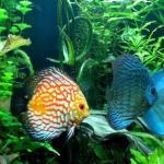 养七彩神仙鱼的经验分享——怎么养七彩神仙?草缸的优势七彩神仙鱼饲养方法、适合饲料