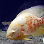 鱼友常养的大型热带鱼的种类介绍如何饲养大型热带鱼