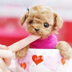 居家小宠物:茶杯犬 饲养注意事项如何饲养茶杯犬?