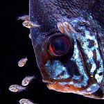 幼鱼、鱼苗、刚出生的小鱼吃什么好?几种可供参考的饲料及喂养方式也可以自己动手做鱼苗饲料
