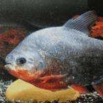 每天一种热带鱼——银板家族之大型银板系列红银板 黑银板 申古黄钻银板