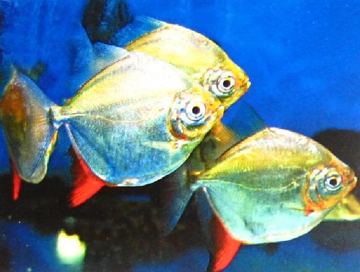 每天一种热带鱼——银板家族中的中小型银板(皇冠红勾丁、七彩银板、粗线银板、细线银 兰州水族批发市场 兰州龙鱼第2张