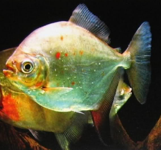 每天一种热带鱼——银板家族中的中小型银板(皇冠红勾丁、七彩银板、粗线银板、细线银 兰州水族批发市场 兰州龙鱼第4张