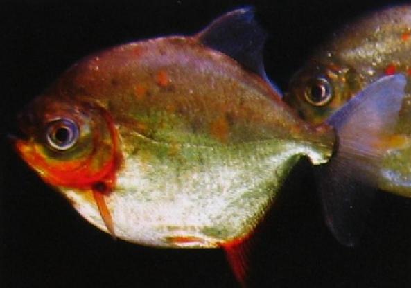 每天一种热带鱼——银板家族中的中小型银板(皇冠红勾丁、七彩银板、粗线银板、细线银 兰州水族批发市场 兰州龙鱼第3张