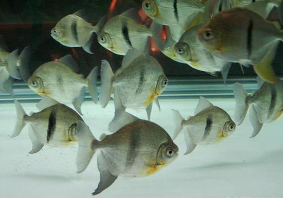 每天一种热带鱼——银板家族中的中小型银板(皇冠红勾丁、七彩银板、粗线银板、细线银 兰州水族批发市场 兰州龙鱼第8张