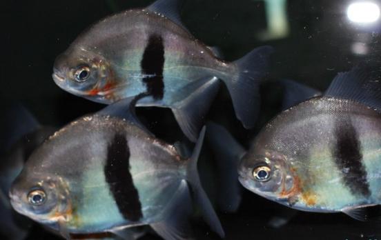 每天一种热带鱼——银板家族中的中小型银板(皇冠红勾丁、七彩银板、粗线银板、细线银 兰州水族批发市场 兰州龙鱼第9张