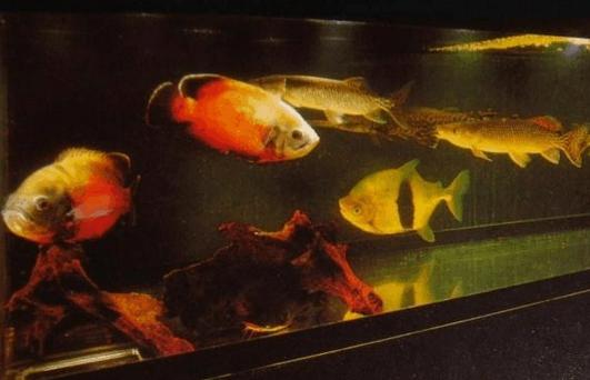 每天一种热带鱼——银板家族中的中小型银板(皇冠红勾丁、七彩银板、粗线银板、细线银 兰州水族批发市场 兰州龙鱼第12张