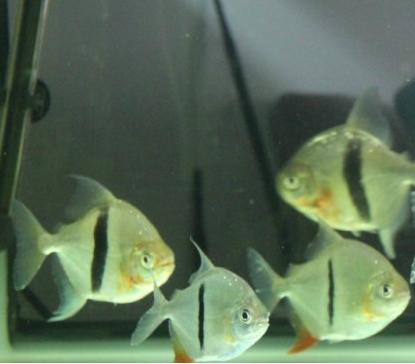 每天一种热带鱼——银板家族中的中小型银板(皇冠红勾丁、七彩银板、粗线银板、细线银 兰州水族批发市场 兰州龙鱼第13张