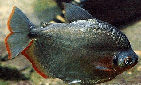每天一种热带鱼——银板家族中的中小型银板(皇冠红勾丁、七彩银板、粗线银板、细线银 兰州水族批发市场 兰州龙鱼第16张