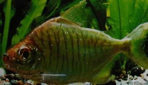 每天一种热带鱼——银板家族中的中小型银板(皇冠红勾丁、七彩银板、粗线银板、细线银 兰州水族批发市场 兰州龙鱼第19张