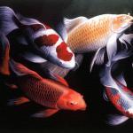 中国锦鲤种类都有哪些? 锦鲤和草金鱼(金鲫)的区别中国观赏鱼尚需更多挖掘