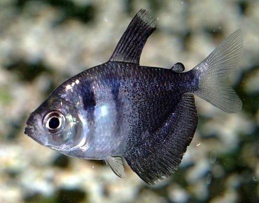 黑裙鱼 墨裙鱼