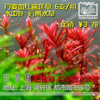 五皇冠 百草园水族馆 丹麦血红宫廷草 6支/组 水中叶 后景水草