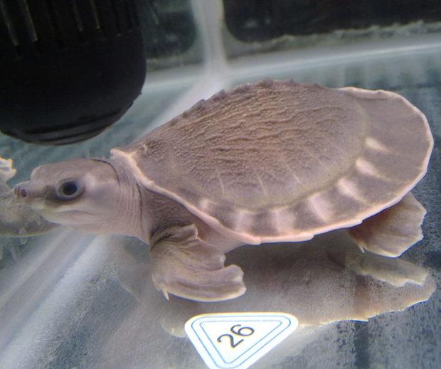 猪鼻龟怎么养?饲养方法入门