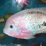 紫红火口鱼 - 鹦鹉鱼和罗汉鱼的祖先 习性和饲养方法 每天一种热带鱼 大全系列