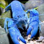 天空蓝魔虾养殖、选购经验分享天空蓝魔虾习性介绍