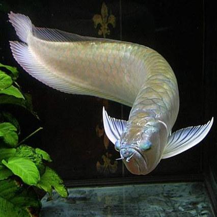 银龙鱼 掉眼 突眼 凸眼 病因 治疗方法