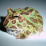 角蛙的习性和品种介绍,以及如何饲养 世界最普遍的宠物蛙
