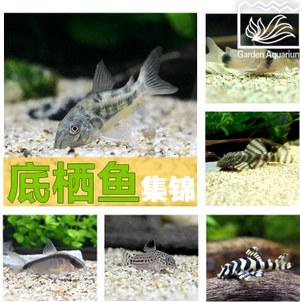 底栖鱼集锦 老鼠鱼 小精灵 熊猫鳅 清洁鱼 热带鱼宠物活体