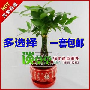 小发财树 迷你发财树 盆栽植物 办公室内植物 桌面绿植