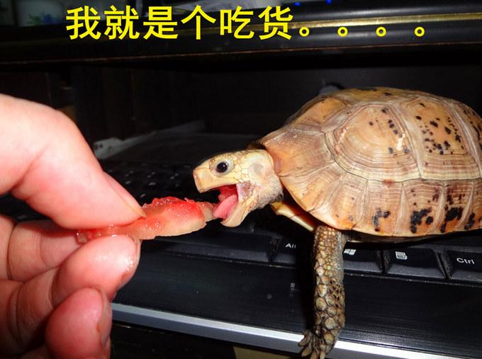 陆龟 吃货一枚