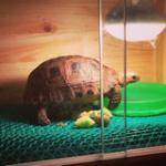 陆龟饲养方法 - 宠物龟 大乌龟 吃菜龟 招财陆龟 新手推荐(送龟粮)  免费饲养指导