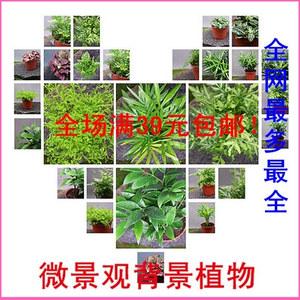 苔藓多肉绿植微景观DIY材料 背景植物 蕨类、网纹草、珊瑚蕨、情人草