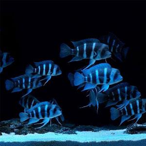 三湖慈鲷-六间鱼精美壁纸 1680×1050