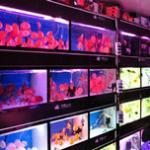 新手进鱼店如何挑选观赏鱼(热带鱼、金鱼、锦鲤均适用),以及新入金鱼的处理 新手必看