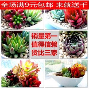 24款绿植花卉多肉植物盆栽奇趣植物熊童子玉露黄丽紫牡丹 全国包邮