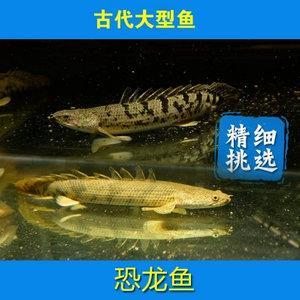 鱼缸水族箱热带观赏大型活体鱼--恐龙鱼