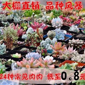 多肉植物 24款10元内常见肉肉 低价放送 自选 桌面 花卉 植物盆栽