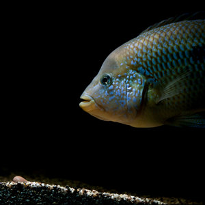 漂亮的慈鲷热带鱼精美壁纸(宽屏)