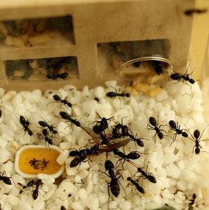 最新款-后院 蚂蚁别墅 生态蚂蚁工坊