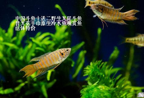 中国斗鱼十送二野生叉尾斗鱼普叉花手巾原生冷水鱼观赏鱼活体特价