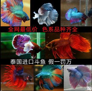 水族箱 小型热带鱼观赏鱼 活体批发 泰国斗鱼 随机发货全网最低价