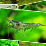 视频:仔细观察黑壳虾是如何吃水藻的 网购黑壳虾实录