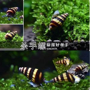 合生水族热带观赏吃野螺的工具活体杀手螺,还能吃实物残渣和鱼虾尸体
