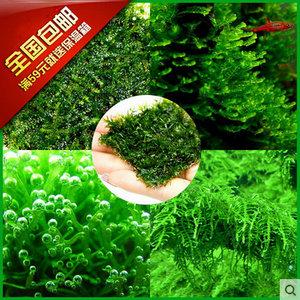 【疯狂水草】鱼缸造景莫丝 自然水景水草造景素材 水下真moss莫斯水草