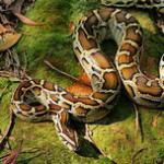 缅甸蟒的习性和特点介绍 世界上最巨型的六种蛇类之一