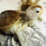 漂亮的钻纹龟的特点和饲养方法 与人互动超强的钻纹龟介绍
