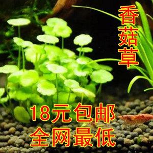迷你香菇草 鱼缸箱造景圆币铜钱草 南美天湖荽水下叶 水草种子