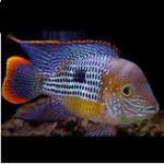 红尾皇冠鱼习性介绍和饲养方法 - 每天一种热带鱼系列 红尾皇冠鱼吃什么怎么养?